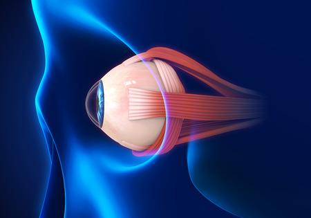 Human Eye Extraocular Muscles
