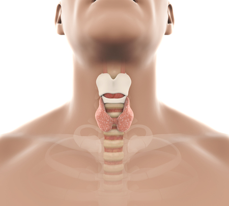 Human Thyroid Gland Anatomy Illustration