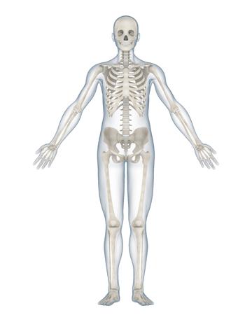 Anatomie du squelette humain isolé Banque d'images - 88972839