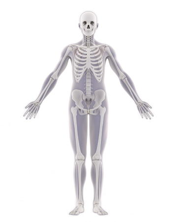 Human Skeleton Anatomy Isolated