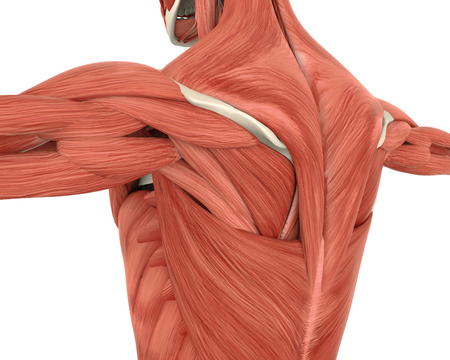 Muskeln der hinteren Anatomie Standard-Bild