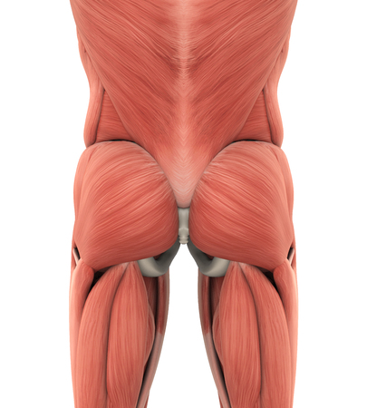 Human Gluteal Muscles Anatomy