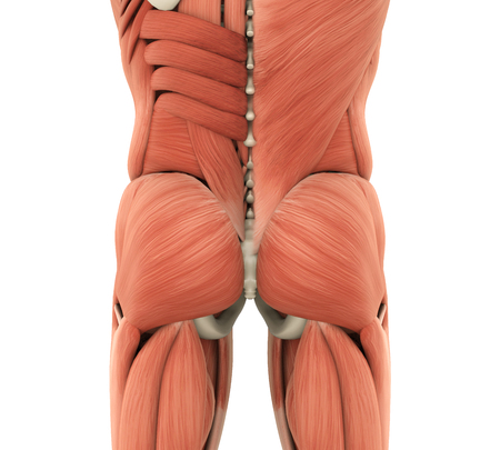 Human Gluteal Muscles Anatomy Stock Photo Picture And Royalty Free