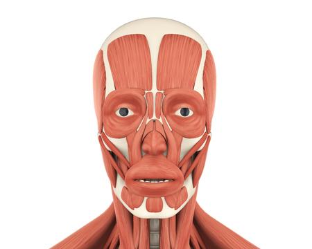 Anatomía De Los Músculos Faciales Humanos Fotos, Retratos, Imágenes ...