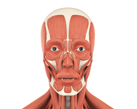Human Facial Muscles Anatomy