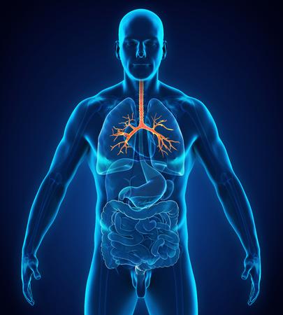 Anatomía del bronquio humano Foto de archivo - 90385816