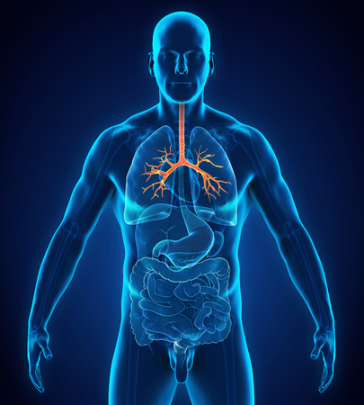 Human Bronchus Anatomy Stock Photo