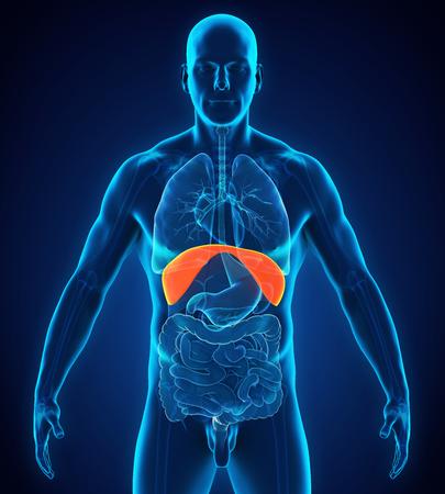Anatomía Humana Diafragma Fotos, Retratos, Imágenes Y Fotografía De ...