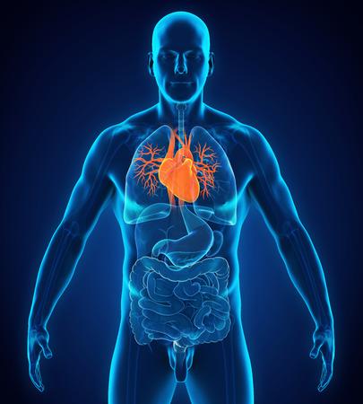 인간의 심장 해부학