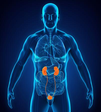 Menschliche Nieren Anatomie Standard-Bild - 89516133