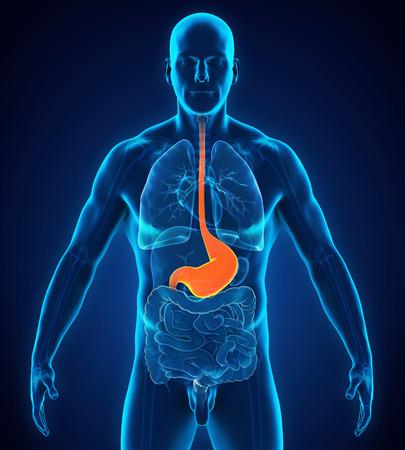 Anatomía del estómago humano Foto de archivo