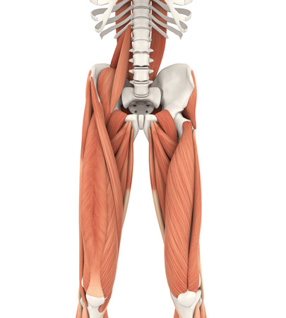 Upper Legs and Psoas Muscles Anatomy