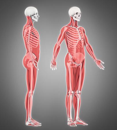 Human Skeleton and Muscle Anatomy