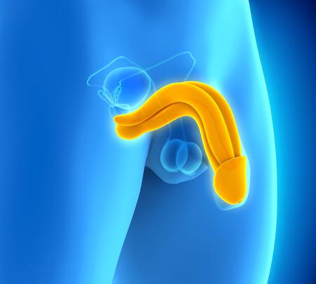 Human Penis Anatomy