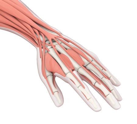 Human Hand Anatomy Illustration Stockfoto