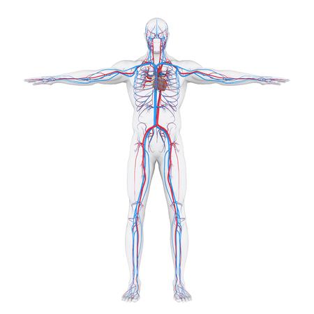 Ilustración del sistema circulatorio humano