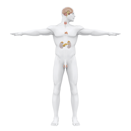 Human Endocrine System Illustration Stock Photo