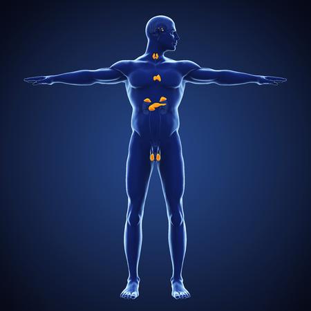 Ilustración del sistema endocrino humano