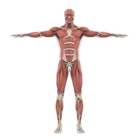 Human Muscular System Illustration Stock Photo