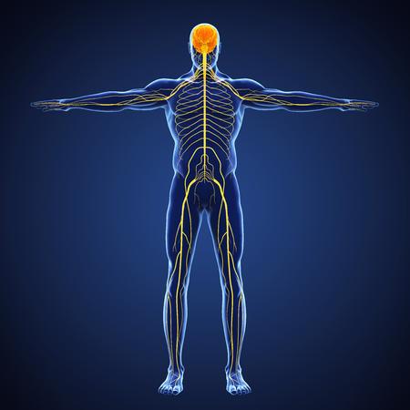 Ilustración del sistema nervioso humano
