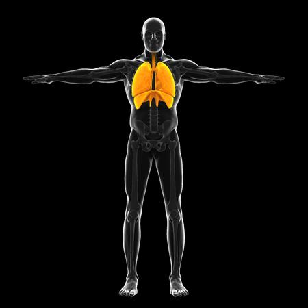 Human Respiratory System Illustration Reklamní fotografie