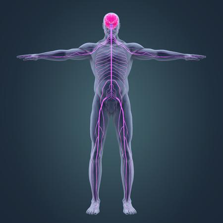 Human Nervous System Illustration Stock Photo