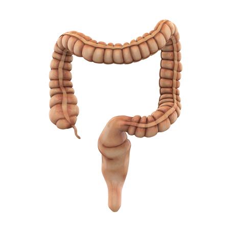 Human Colon Anatomy