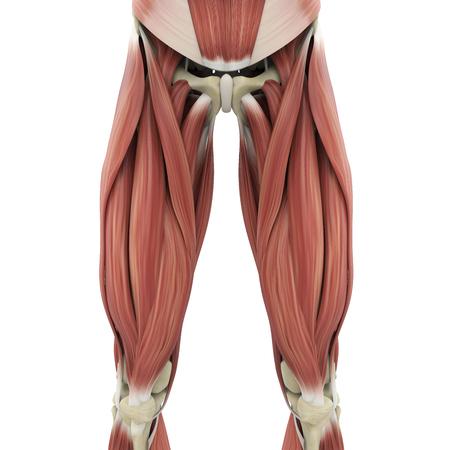 Anatomía de los músculos de las piernas superiores Foto de archivo