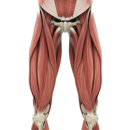 Upper Legs Muscles Anatomy Stock Photo - 116068716