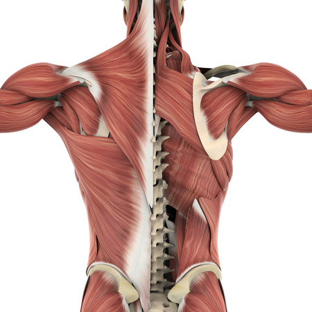 Muscles of the Back Anatomy Archivio Fotografico - 116215294
