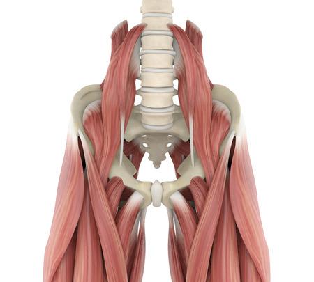 Psoas Muscles Anatomy Foto de archivo