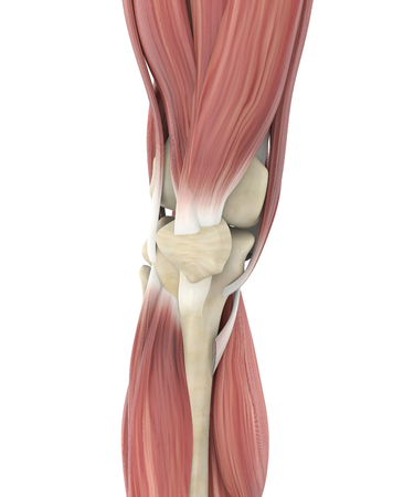 Knee Joint Muscle Anatomy