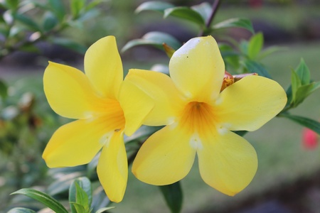 Allamanda Flower, yellow photo