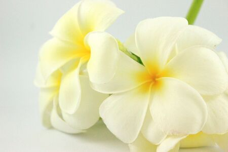 Plumeria alba on white background photo