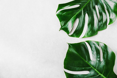 Monstera leaves on grey concrete background. View from above. Monstera background. Summer nature spa fashion concept. Horizontal with copy space. Standard-Bild - 114631576