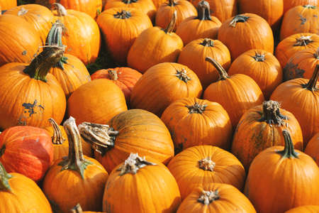 Pattern of pumpkin field. Farming or autumn concept 免版税图像