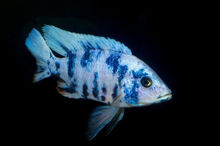 Nice blue OB male of cichlid fish from genus Aulonocara. Stock Photo