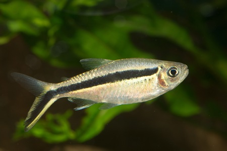 neon tetra: Nice and popular aquarium fish from genus Boehlkea. Stock Photo