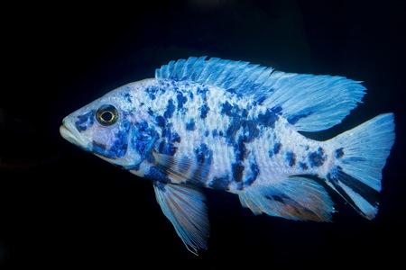Schönen blauen OB Männchen Buntbarsch aus Gattung Aulonocara. Standard-Bild - 33607925