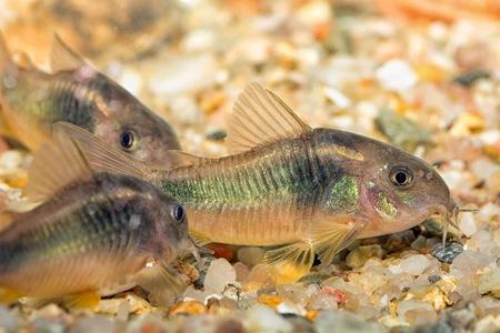aquarium eau douce: Tropical aquarium d'eau douce de poissons de genre Corydoras.