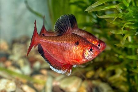 aquarium eau douce: Tropical Fish aquarium d'eau douce de genre Hyphessobrycon.