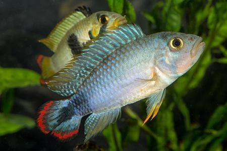 Tropical freshwater aquarium fish from genus Apistogramma. Stock Photo