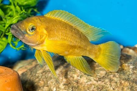 cichlidae: Tropical freshwater aquarium fish from genus Neolamprologus.