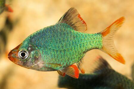aquarium eau douce: Tropical Fish aquarium d'eau douce de genre Puntius.
