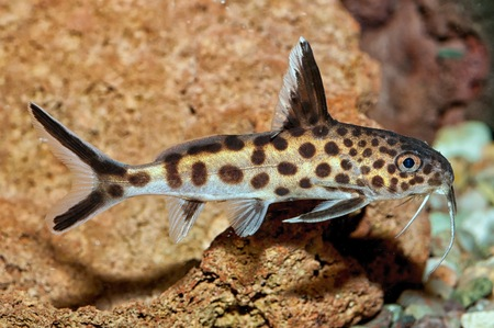 Tropical freshwater aquarium fish from genus Synodontis. Stock Photo