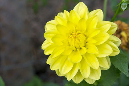 yellow blossom: Nice flower with yellow blossom with blurred background.