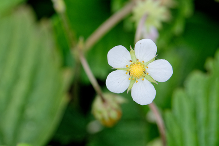 Nice white strawberry blossom with yellow center. photo