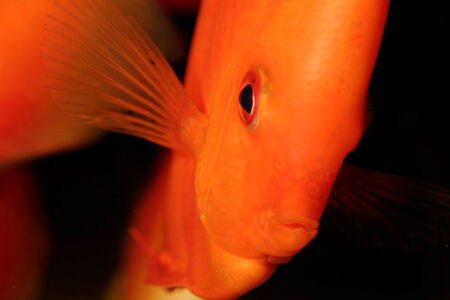 Very nice portrait of orange discu fish. photo