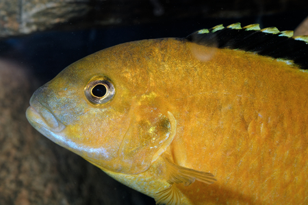caeruleus: Nice portrait of yellow mouthbrooder of genus Labidochromis.