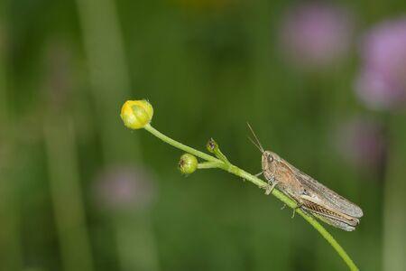 chorthippus: Nice brown grasshopper on a plant stem.
